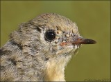 Ruby-crowned Kinglet Juvenile