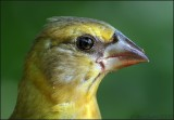 Evening Grosbeak juvenile