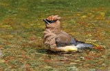 Cedar Waxwing bathing