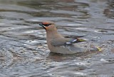Bohemian Waxwing bathing