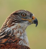Ferruginous Hawk 2