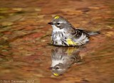 Yellow-rumped Warbler - Myrtle race