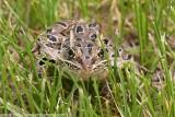 Northern Leopeard Frog