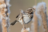 Sparrow and cattails.jpg