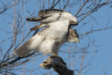Young red-tail2.jpg