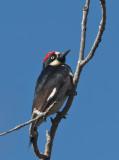 acorn_woodpeckers