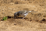 HärfågellärkaGreater Hoopoe-Lark(Alaemon alaudipes)