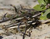 GlasögonsångareSpectacled Warbler(Sylvia conspicillata)