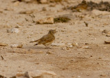 SandökenlärkaBar-tailed Lark(Ammomanes cinctura)