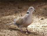 TurkduvaEurasian Collared-Dove(Streptopelia decaocto)