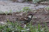 Spansk sparvSpanish Sparrow(Passer hispaniolensis)