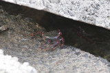 Unknown crab 2