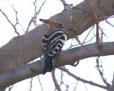 HärfågelEurasian Hoopoe(Upupa epops)