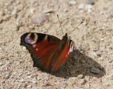 PåfågelögaPeacock butterfly(Aglais io)
