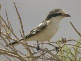 MasktörnskataMasked Shrike(Lanius nubicus)