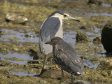 NatthägerBlack-crowned Night-Heron(Nycticorax nycticorax)