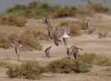 ÖkenpipareGreater Sand Plover(Charadrius leschenaultii)