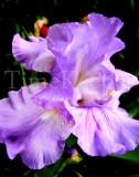 Iris 11x14.jpg