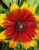 Sunburst flower 11x14.jpg