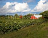 Upstate Vineyard 11x14.jpg