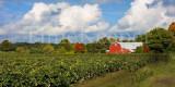 Upstate Vineyard 12x24.jpg