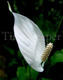 peace lily 11x14.jpg