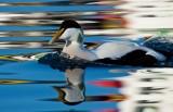 Winter Wildlife in Iceland: Orcas, Eider Ducks and Northern Lights