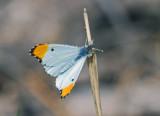 Falcate Orangetip - male