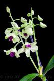 Dendrobium (Orchidaceae)