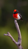 Red Capped Robin