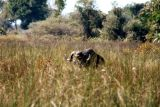 A Cape Buffalo dining on the water reeds