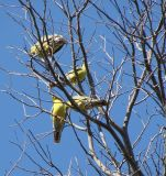 Yellow-bellied Parrots overhead