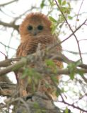 Pel's fishing owl at the top of a tree