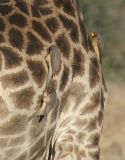 Yellow-billed Oxpeckers cleaning ticks from the giraffe's back