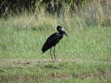 An African Open-billed Stork