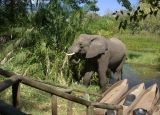 This elephant decided he just needed to eat the leaves between the mokoros and the dining room!