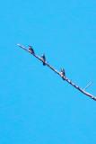 Acorn Woodpecker - KY2A2280.jpg