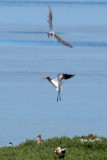 American Avocet and Forster's Tern - KY2A2853.jpg