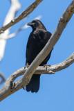 American Crow - KY2A2452.jpg