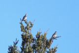 Band-tailed Pigeon - KY2A1711.jpg