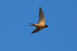 Barn Swallow - KY2A2016.jpg