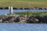 Black Skimmer (middle of island) - KY2A3042.jpg