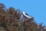 Black-crowned Night-Heron - KY2A2348.jpg