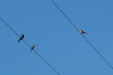 Brown-headed Cowbird (bottom left and right) - KY2A3558.jpg