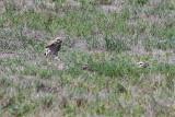 Burrowing Owl - KY2A3086.jpg