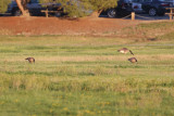 Cackling Goose (foreground) with Canada Goose for scale - KY2A3601.jpg