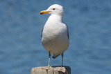 California Gull - KY2A2357.jpg