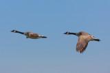 Canada Goose - KY2A2338.jpg