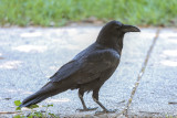 Common Raven - KY2A2320.jpg