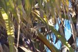 Eurasian Collared Dove - KY2A3108.jpg